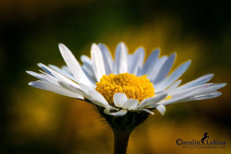 Gänseblümchen, Carolin Lobina
