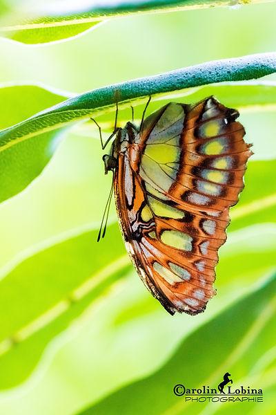 braun-grüner Schmetterling, Malachit, Carolin Lobina