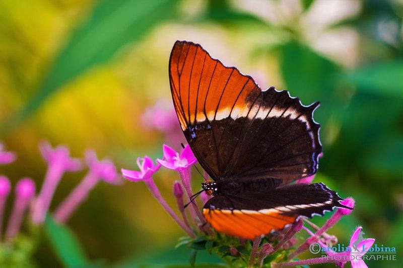 schwarzer Schetterling mit weißem Streifen und braunen Spitzen, Rost-Spitzen Blatt, Carolin Lobina