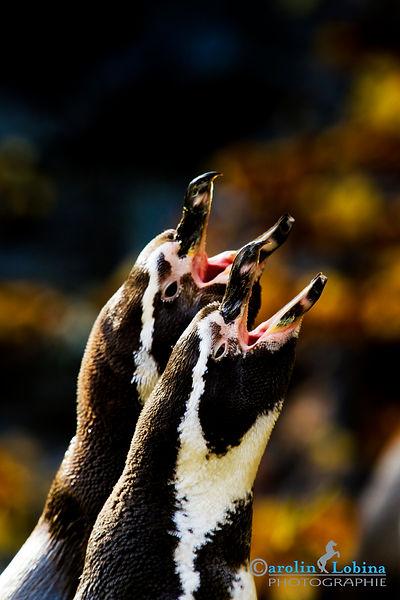 rufende Humboldt-Pinguine, Carolin Lobina