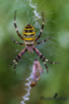 Wespenspinne im Netz mit Beute, Carolin Lobina