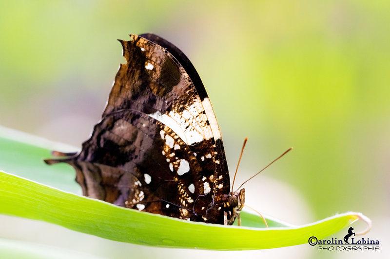 brauner Schmetterling mit weißen Flecken, Marmor-Blatt, Carolin Lobina