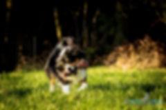 Australien Shepherd, Hund beim Spielen und Laufen, Carolin Lobina