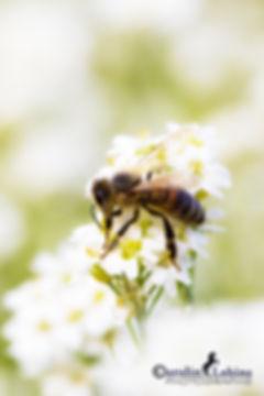 Biene auf weißer Wiesenblume, gewöhnliche Graukresse, Carolin Lobina