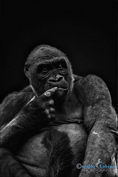 nachdenklicher Blick eines Gorillas, Carolin Lobina