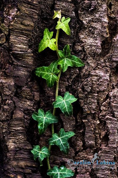 Efeu am Baum, Carolin Lobina