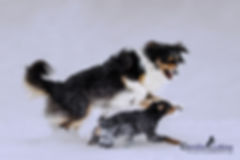 rennende Hunde im Schnee, Australian Shepherd und deutscher Jagdterrier, Carolin Lobina