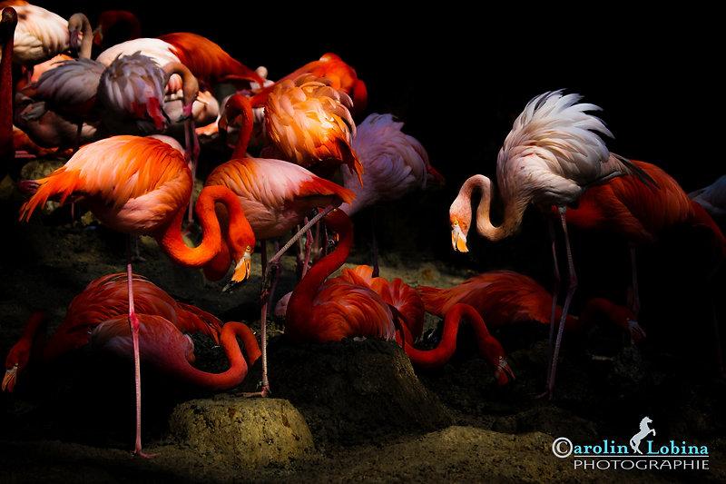 Flamingos auf ihren Nestern, Carolin Lobina
