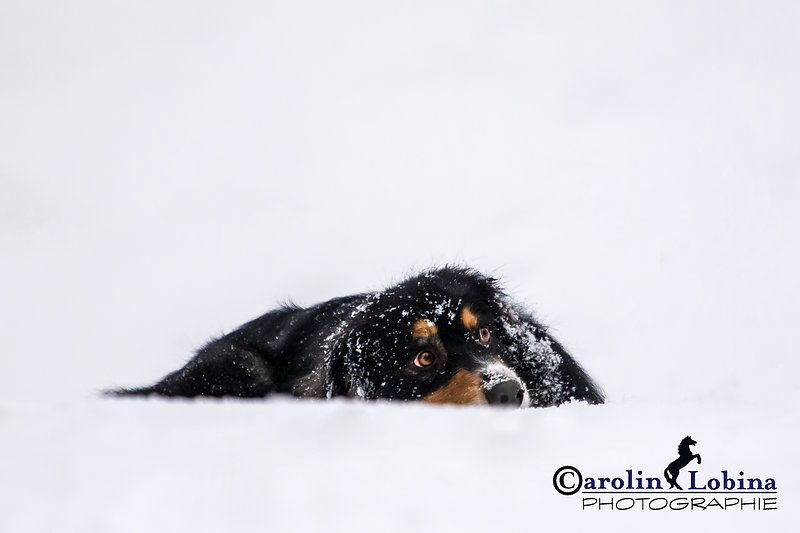 Australian Shepherd liegt im Schnee, Carolin Lobina