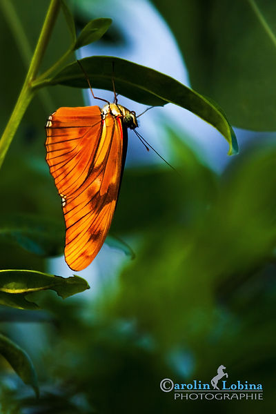 oranger Schmetterling, Fackel, Carolin Lobina