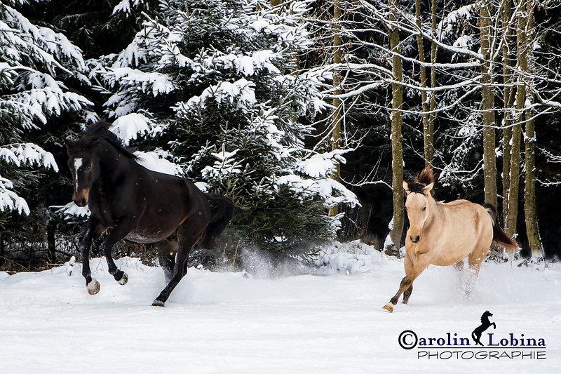 galoppierende Pferde im Schnee Carolin Lobina