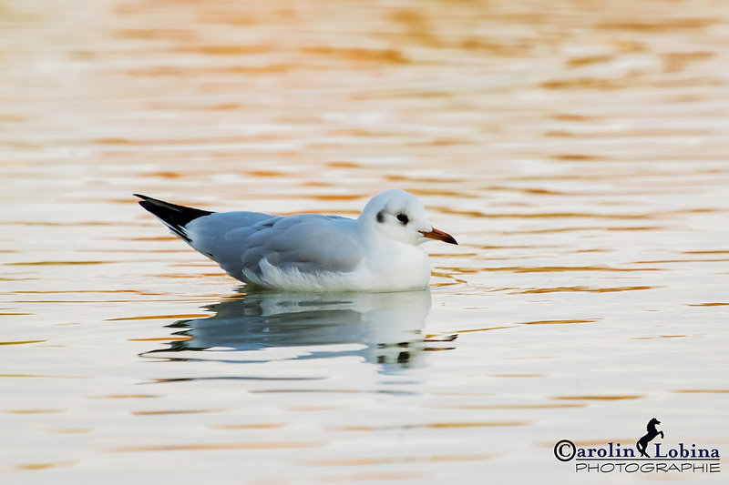 Lachmöwe schwimt im Baggersee, Carolin Lobina