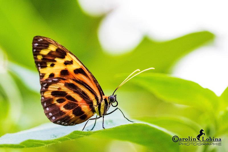 schwarz/gelb/orange gefleckter Schmetterling, Schein-Passionsfalter, Carolin Lobina