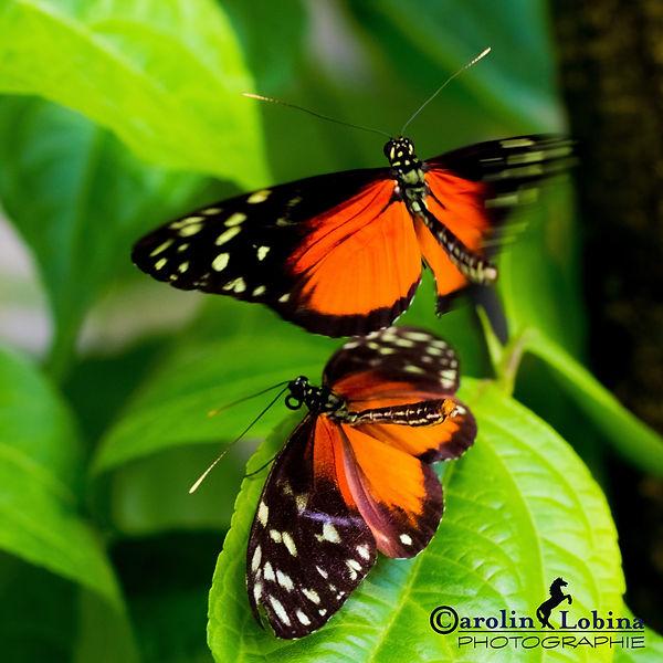 schwarzer Schmetterling mit großem rotem Fleck und weißen Punkten, goldener Passionsblumenfalter, Carolin Lobina