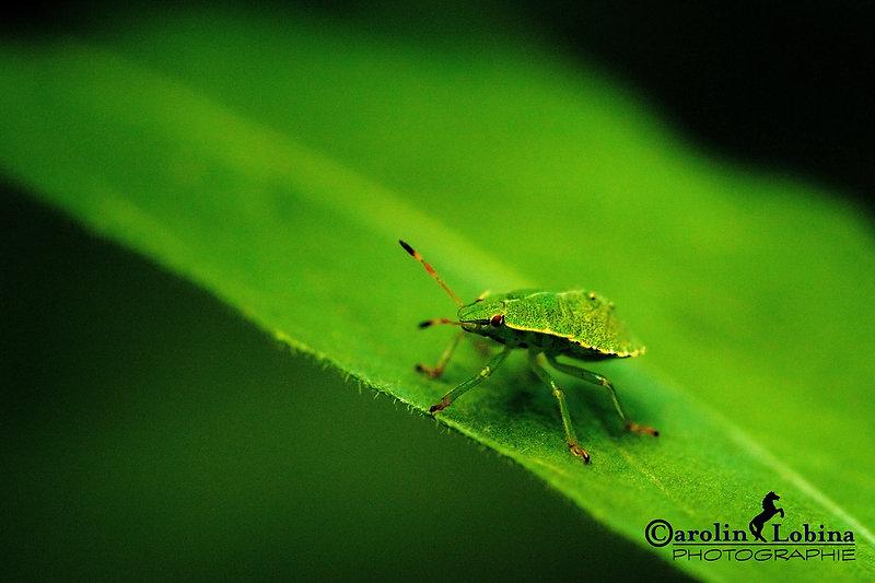 grüne Stinkwanze, Larve (L3) Carolin Lobina
