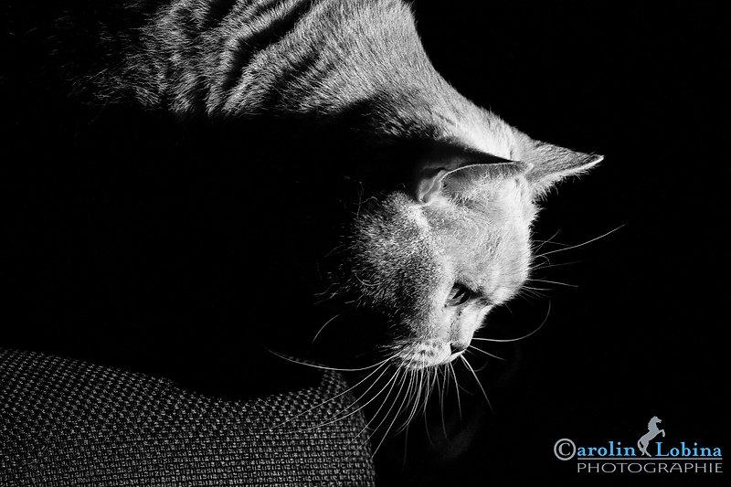 Katze schwarz/weiß Britisch Kurzhaar, Carolin Lobina