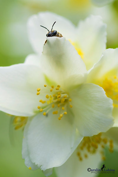 Biene schaut hinter Jasminblüte vor, Carolin Lobina