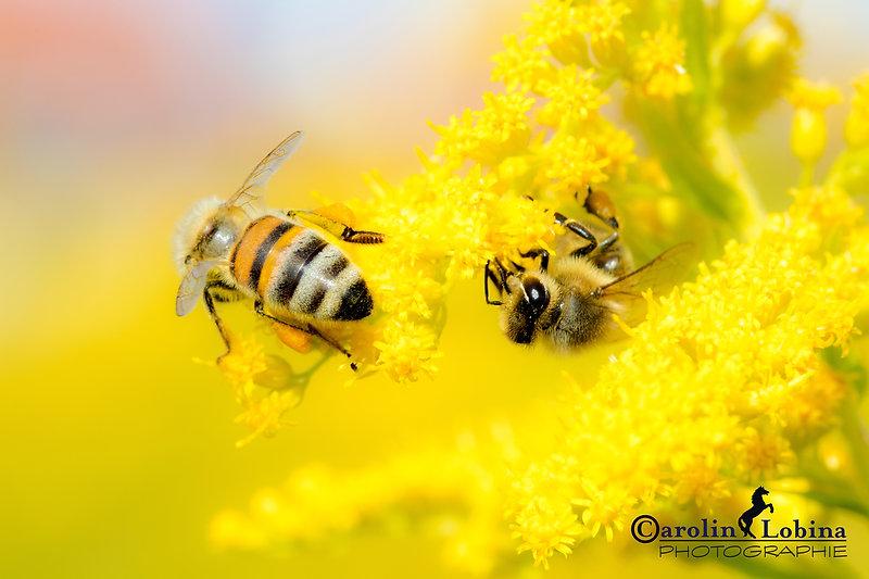 Bienen sitzen auf kanadischer Goldruthe, Carolin Lobina
