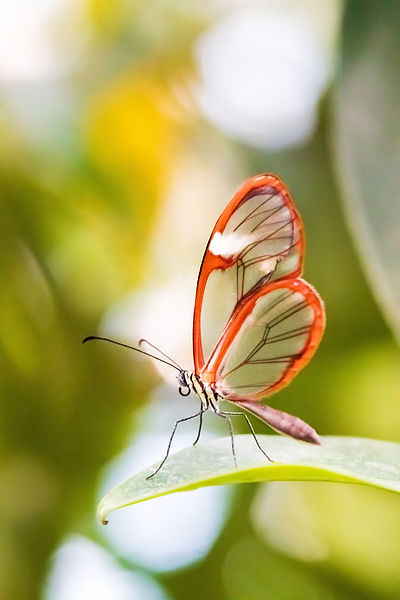 Schmetterling mit durchsichtigen Flügeln mit braunem Rand, Glasflügler, Waldgeist, Carolin Lobina