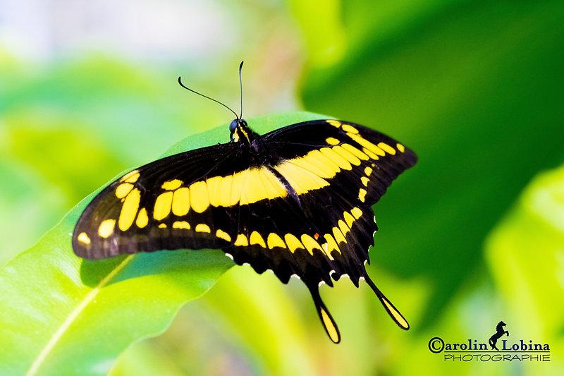 schwarzer Schmetterling mit gelben Flecken, König Schwalbenschwanz, Carolin Lobina