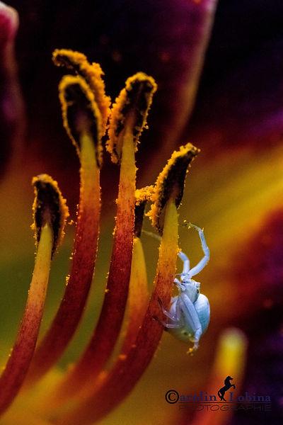 veränderliche Krabbenspinne in Taglilie, Carolin Lobina