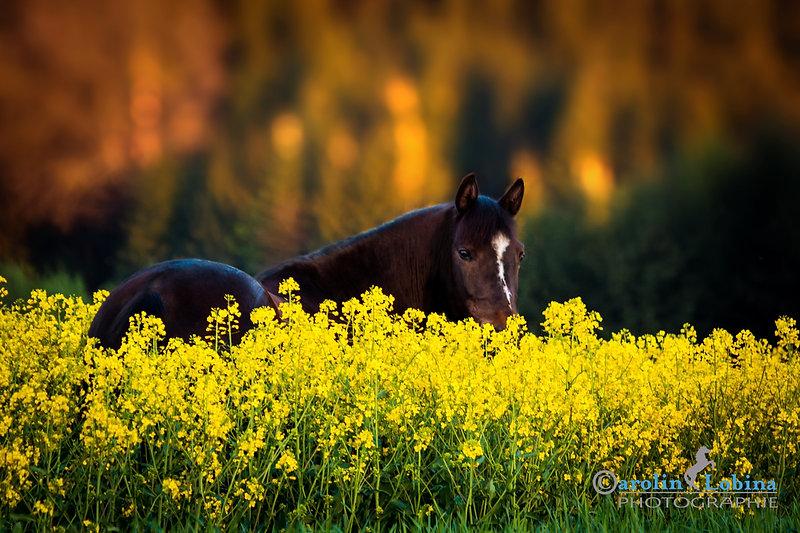 Pferd im Rapsfeld mit Tannen im Hintergrund, Carolin Lobina