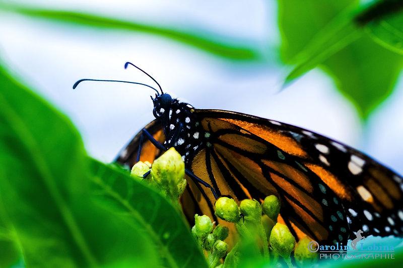 rot schwarz gefleckter Schmetterling mit weißen Punkten, Monarch, Carolin Lobina