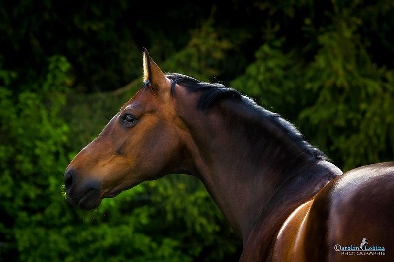Pferdeportrait vor Tannen, Carolin Lobina