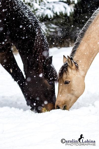 Pferde im Schnee Carolin Lobina