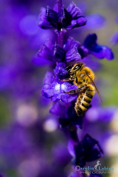 Biene auf blauer Hyazinthe, Carolin Lobina