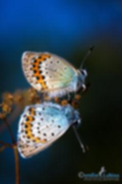 Paarung eines Geißklee-Bläulings, Carolin Lobina