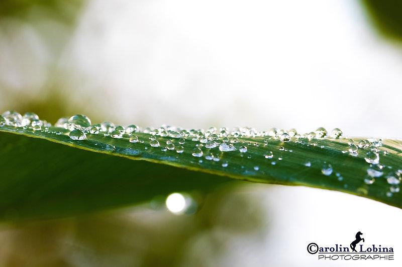Blatt mit Wassertropfen, Carolin Lobina