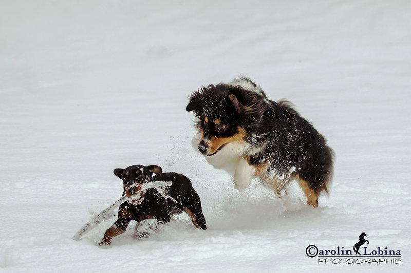 tobende Hunde im Schnee, Carolin Lobina