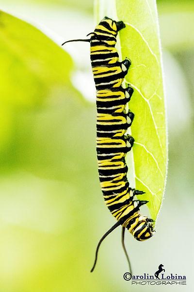 gelb-schwarz gestreifte Raupe, Monarch Raupe, Carolin Lobina