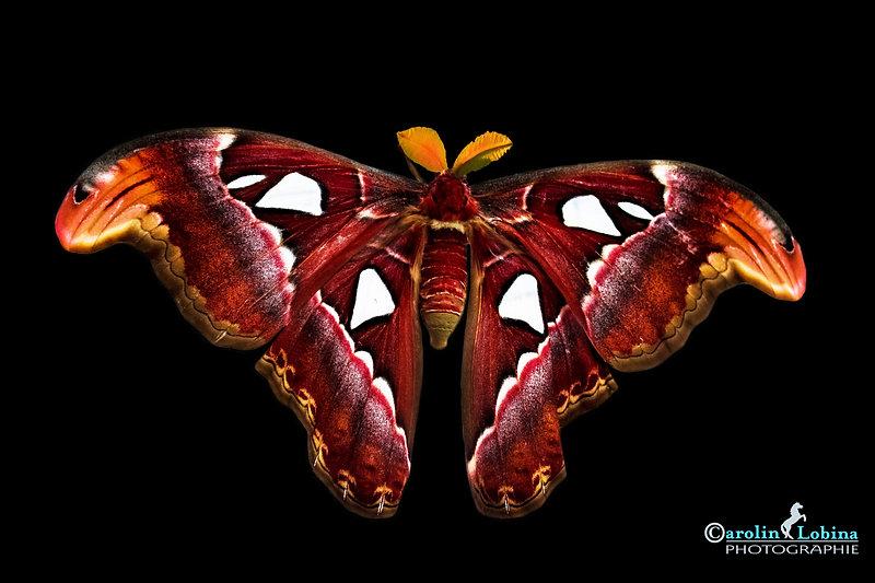 großer roter Schmetterling mit weißen Flecken, Atlasspinner, Carolin Lobina