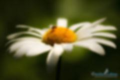kleiner Käfer auf Margerite, Carolin Lobina