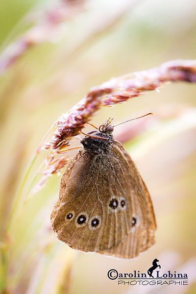 Schmetterling, brauner Waldvogel, Carolin Lobina