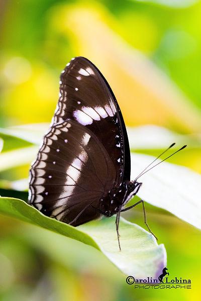 schwarz-weißer Schmetterling, Blauer Mond, Carolin Lobina