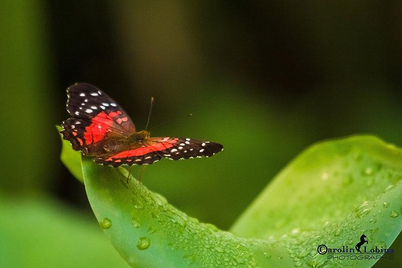 Schmetterling mit innen roten Flügeln, außen schwarz mir weißen Punkten, roter Pfau, Carolin Lobina