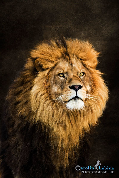 Löwenportrait, Carolin Lobina
