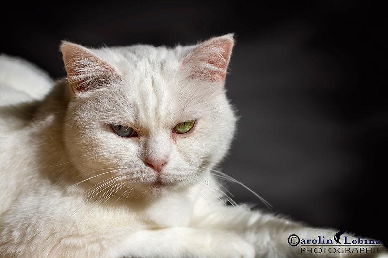 Katze Britisch Kurzhaar, Carolin Lobina
