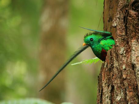 Resplandeciente quetzal