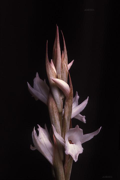 Eltroplectris roseoalba