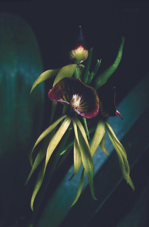 Encyclia cochleata