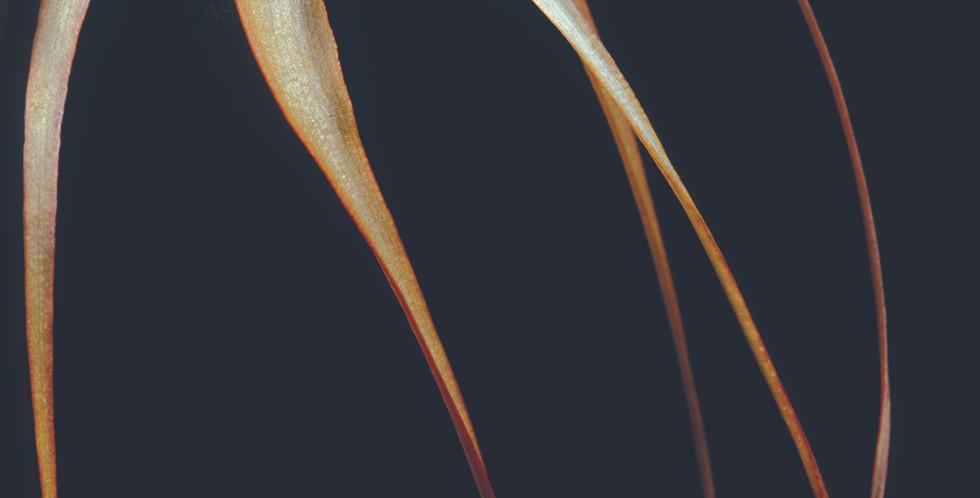 Brassavola cucullata