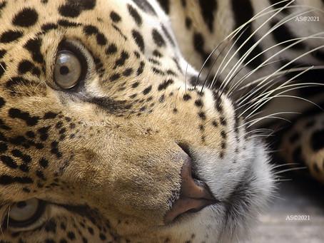 La jaguar más hermosa