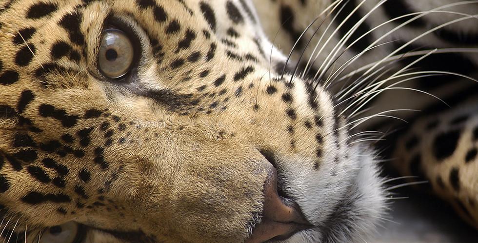 Jaguar Panthera BAJA.jpg