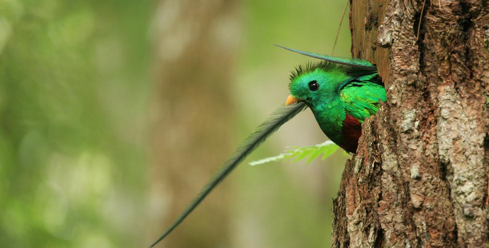 Resplandeciente quetzal  Serie Honduras Indómita