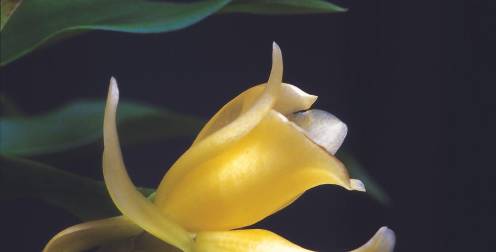 Chondorhyncha lendyana