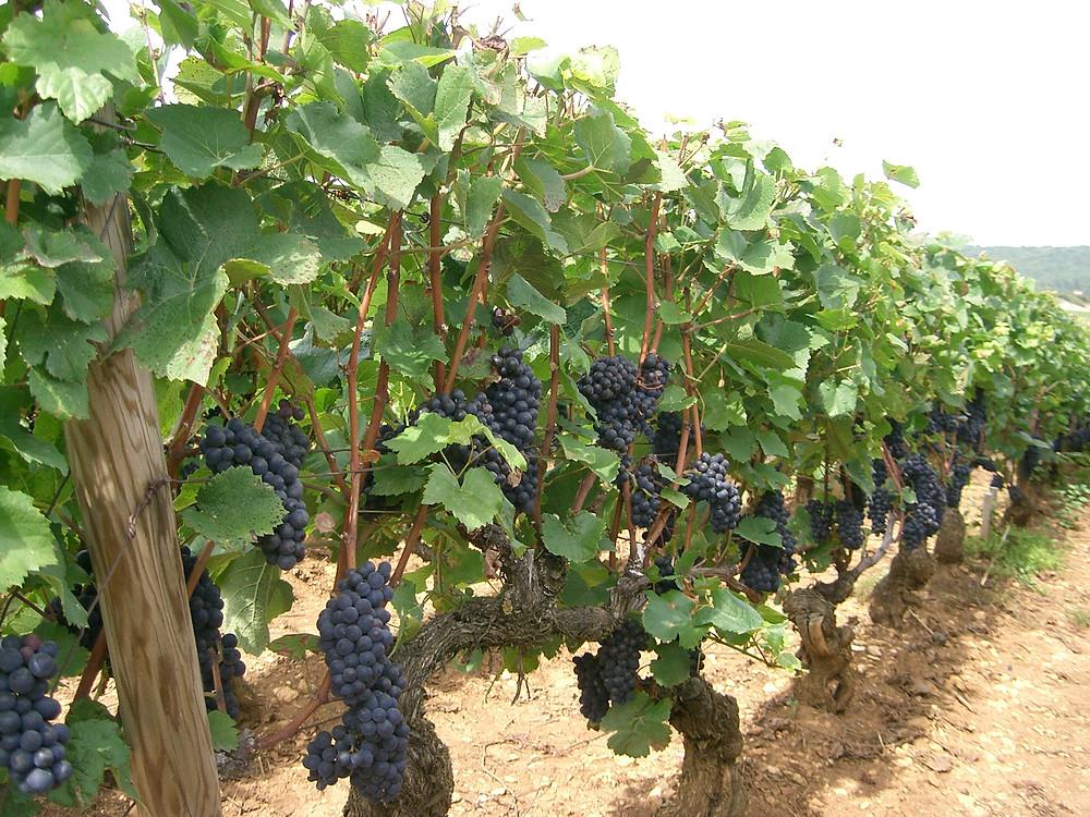 """Uva """"Pinot Noir"""", Borgonha, França"""